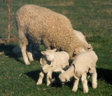 Lamb Coats - Woolover To keep your newborn lambs warm in winter