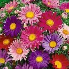 Aster- (Aster Alpinus Mix)- Mix colors- 50 Seeds
