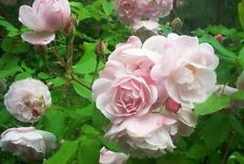 'Blush Noisette' Fragrant Climbing Rose With a Rich Clove Scent,Lilac-Pink Bloom