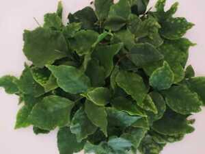 Dried Bael Fruit Leaves Organic,Beli Mal Leaf,Bael leaf Tea, Bilva,bel patri 200