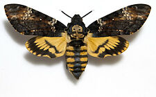 Acherontia atropos,Death´s-head Hawkmoth,UNMOUNTED(=CLOSED WINGS) MOTH