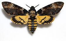 Acherontia atropos,Death´s-head Hawkmoth,UNMOUNTED(=CLOSED WINGS) MOTH