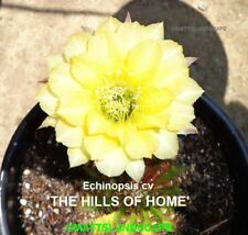 Echinopsis,Hybrid 'The Hills Of Home',Plant,Cactus,N o,Trichocereus, Lobivia