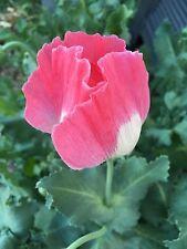 Afghan Special Poppy Seeds, Somniferum, Izmir Farms, 1 gram (~1500 seeds)