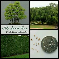 10+ WEEPING FIG TREE SEEDS (Ficus benjamina) Popular Hedge Bonsai Feature