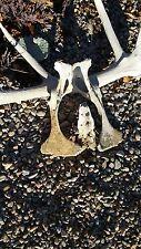 Burro Donkey Pelvis- Real - Found in desert - Spanish settlement - New Mexico