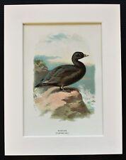 Scoter Duck - Thorburn - Mounted Antique 1880s Chromolithograph Bird Print