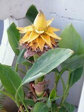 Musella lasiocarpa ornamental banana plant ensete plants! *with Plantpassport*