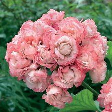 50pcs Rare Geranium Seeds Appleblossom Rosebud Pelargonium