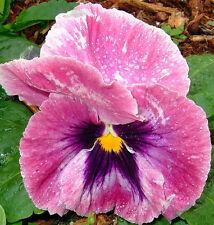 25 graines PENSEE GEANTE ROSE(Viola Wittrockiana)X03 PINK PANSY SEEDS SAMEN SEMI