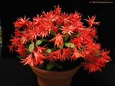 EASTER CACTUS (RED FORM),20 fresh seeds, colourful  &  easy to grow houseplant