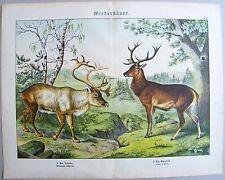 Chromo-Lithografie 1886: Wiederkäuer. Das Renntier. Der Edelhirsch.