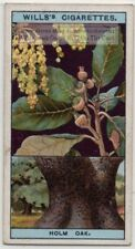 Holly Oak Tree  Quercus ilex 1920s Trade Ad Card