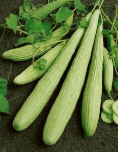 armenische Gurke Samen Gurkensamen bis zu 1 m lange Gurken
