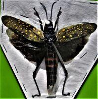 Lot of 10 Beautiful Asian Cicada Trengganua sybylla Spread  FAST FROM USA