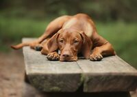 A1 Big Brown Dog Vizsla Poster Art Print 60 X 90cm 180gsm Animal Fun Gift #16941