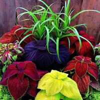 USA Rainbow Coleus Mix 100- seeds HEIRLOOM