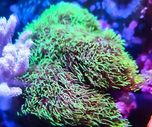 Neon Green Star Polyp GSP soft coral frag beginner live Marine Frags corals Reef