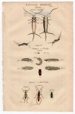 Insects Firefly - Silverfish - Wood Beetle 1813 Hand Colored Engraving