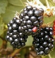 100 BLACKBERRY BUSH Fruit Berry Rubus Seeds *Comb S/H
