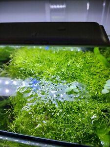 Riccia Fluitans Tissue Culture B2G1 Live Aquarium Plants breeding moss