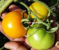 Golden Sunray Tomato - A Sweet, Solid, Meaty, Very Mild Tomato - 10 Seeds!