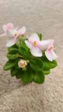 "African Violet "" Hunter's Chipmunk Cheecks"" (actual plant) Semiminiature"