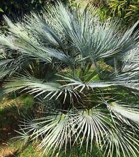 10 Hardy Sabal Palmier Chou Palmier Nain Semences Florales