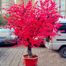 Red Japanese Cherry 10 Pcs Seeds Blossoms Garden Bonsai Tree Small Sakura New S