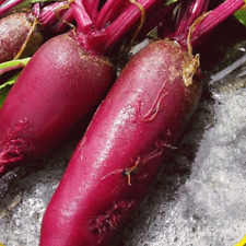 1000 Cylindra Beet Seeds - Everwilde Farms Mylar Seed Packet