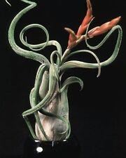 "Air Plants!   Caput Medusae ""Medusa"" Tillandsia"