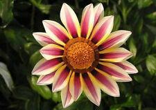 Gazania colori misti / 15 semi