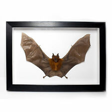 REAL Diadem Leaf-Nosed Bat in Frame Taxidermy UK - Vampire, Voodoo, Curiosities