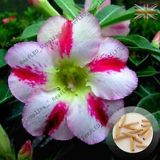 """FRAGRANT DELIGHT"" Adenium Obesum DESERT ROSE 5 graines fraîches viable, ROYAUME-UNI Supply"