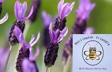 Lavender Perennial Flowers & Plants