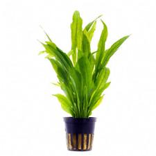 6 x 5 cm Pots of Echinodorus bleheri