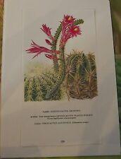 Walter Kuper Cactus illustration Botanique Aporocactus flagelliformis
