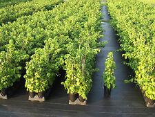 6 Stück Kletterhortensien - Hydrangea petiolaris  40/60 cm