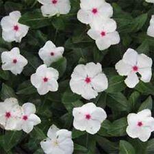 40+ Vinca Cooler  Peppermint Periwinkle Flower Seeds / Deer Resistant Annual