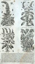 Bouillon-blanc Primevère Botanique Matthioli Mattioli Matthiole Dioscoride