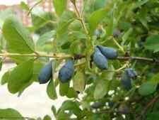 1000 seeds Lonicera caerulea edulis, honeyberry, Haskap berry, blue-berried hone