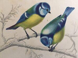 Orbigny Gravure Sur Acier XIXème les Oiseaux Mésange Bleue Ramphocèle 1849