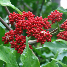 LEEA coccinea Rubra Seeds (ES 46)