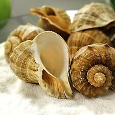 """1/2 lbs Rapana Sea Shell 2"""" to 2.5"""" for Hermit Crab, Aquarium & Air Plant Decor"""