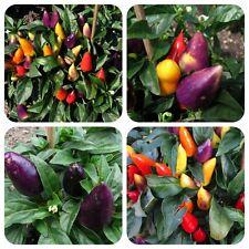 Burke's Backyard Thai Chili Chilli aus Australien tolle Farben kleine Pflanzen