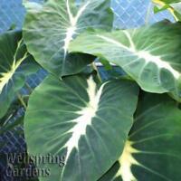 Elephant Ear - Colocasia 'Nancyana' LIVE PLANT Nancy's Revenge tropical garden