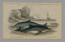 LEAD COLOURED & BRIDLED DOLPHIN HAND-COLORED PRINT NATURALIST'S LIBRARY C. 1875