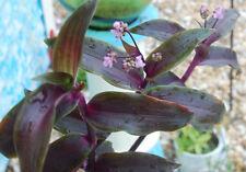 Tripogandra Serrulata - Purple Scimitars - Tradescantia Elongata - Spiderwort