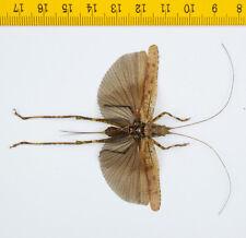 HOPPER/KATYDID - Orthoptera sp - Tapah Hills - MALAYSIA - 8539