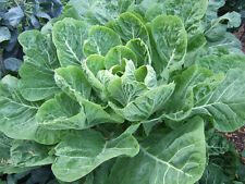 COLLARD GREENS Champion 150+ seeds WINTER VEGETABLE GARDEN old fashion heirloom